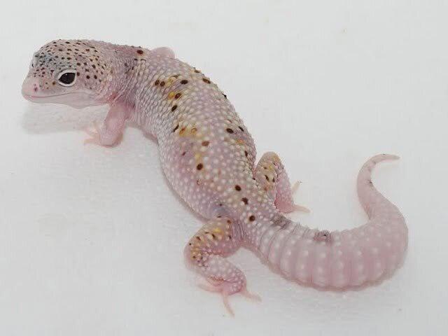Леопардовый геккон-эублефар (Eublepharis macularius) - фото pic_06cb110b3e1eb669397e66b62d7bbd18_1920x9000_1.jpg