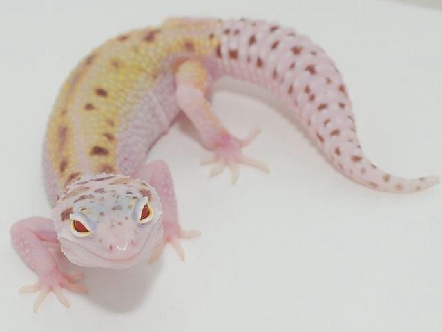 Леопардовый геккон-эублефар (Eublepharis macularius) - фото pic_880f90cf7f5431e8cfcda8217d1603f5_1920x9000_1.jpg