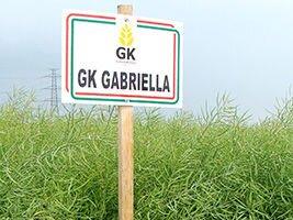 Озимый рапс сорт ГК Габриэлла. Высокоурожайный и Зимостойкий рапс сорт Габриелла, 270-280 дней. 1 п. ед.(3 га). Венгрия - фото pic_fe0614664d5a4bb_700x3000_1.jpg