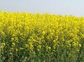 Озимый рапс сорт ГК Габриэлла. Высокоурожайный и Зимостойкий рапс сорт Габриелла, 270-280 дней. 1 п. ед.(3 га). Венгрия - фото pic_0b3ca509f60c289_700x3000_1.jpg