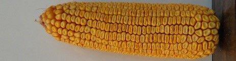 Гибрид кукурузы ДН ПИВИХА ФАО 180, Урожайность 12,0 т/га, Семена кукурузы с хорошей влагоотдачей и морозостойкостью. - фото pic_0e2eae48cd02771_700x3000_1.jpg