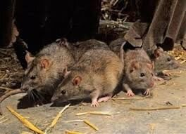 Средство против крыс и мышей, Родентицид СТОП ГРЫЗУНАМ, отрава, зерновая приманка со вкусом арахиса. Мешок 1кг. - фото pic_21ccd5786b2b604_700x3000_1.jpg