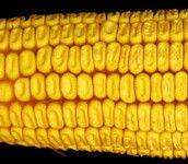 Гибрид кукурузы ЛЕЛЕКА МВ ФАО 290, Урожайные семена кукурузы Лелека 14,0 т / га, Гибрид с хорошей влагоотдачей. - фото pic_60832e49100d0ce_700x3000_1.jpg