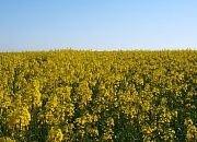 Гибрид Рапс Озимый ЕС НЕПТУН Ранний, Высокоурожайный, Устойчив к болезням и вредителям. ЕВРАЛИС СЕМАНС - фото pic_42eddc61f7e0e97_700x3000_1.jpg