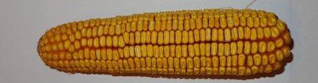 Гибрид кукурузы МОНИКА 350 МВ,  ФАО 350, Урожайность 13,0-13,5 т/га. НИИ НААН - фото pic_f402e574b1303c1_700x3000_1.jpg