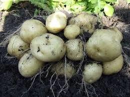 Микроудобрение Минералис Картофель, увеличение урожая и антистресс Mo-0,1, Mg-4, Mn-1,5, Cu-2, Fe-0,5, Zn-1,5, - фото pic_8ca11c35107a200_700x3000_1.jpg