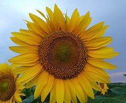 Насіння соняшника посухостійке НС ОСКАР.  Гібрид стійкий до вовчка A - F. Високоврожайний соняшник 42ц/га Оскар. Екстра - фото pic_61ebba71edba3ab_700x3000_1.jpg