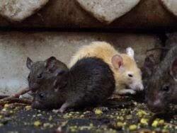 Отрава в зернохранилища от крыс и мышей, зерновая приманка со вкусом арахиса. СТОП ГРЫЗУНАМ. Мешок 25 кг. - фото pic_fd9d8b60969dcce_1920x9000_1.jpg