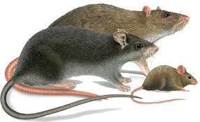 Отрава в зернохранилища от крыс и мышей, зерновая приманка со вкусом арахиса. СТОП ГРЫЗУНАМ. Мешок 25 кг. - фото pic_9af26c3b6bc0f52_1920x9000_1.jpg