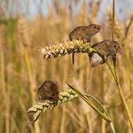 Щелкунчик, отрава от крыс и мышей, Бродифакум Родентицид, зерновая приманка со вкусом арахиса. Мешок 10 кг. - фото pic_2677b926e3e0053_700x3000_1.jpg