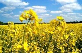 ДК ЕКСЗИВИТ озимый рапс, Высокоурожайный 5,4т/га. Позднеспелый Dekalb / Monsanto. 2016г. - фото pic_859d99db4ffccc2_700x3000_1.jpg