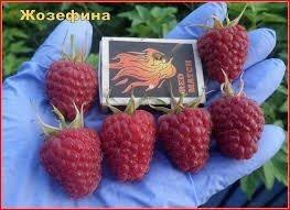 Саженцы ремонтантной малины Жозефина от 5 шт. - фото саженцы ремонтантной малины в Украине