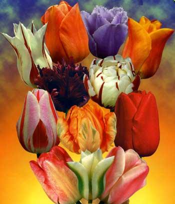 Посадка тюльпанов - когда и как - фото pos_tulpan_01.jpg