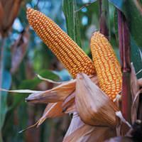Семена кукурузы ― ИСБЕРИ