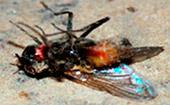 Смерть мухи после контакта с приманкой Квик Байт спрей